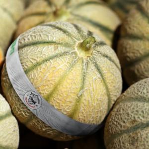 Melon ruban